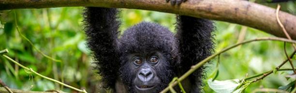 Uganda - Im Land der letzten Berggorillas